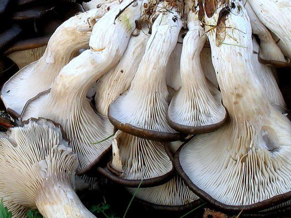 О выращивании грибов