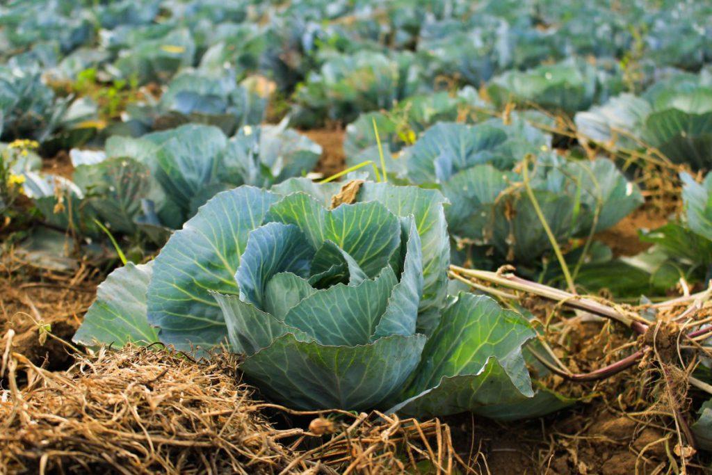Сажать капусту в зиму 450