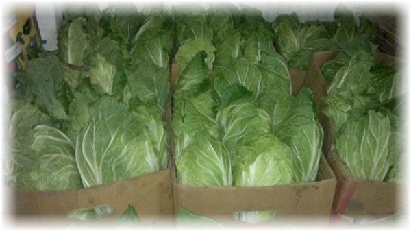 Как хранить пекинскую капусту в овощехранилище?