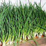 Как вырастить лук в подвале