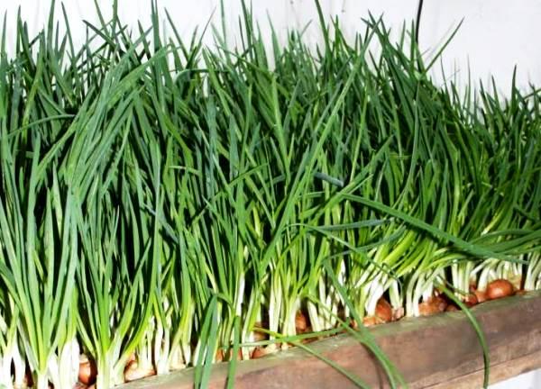 Выращивание лука в подвале: как сажать, как растить зелень в погребах