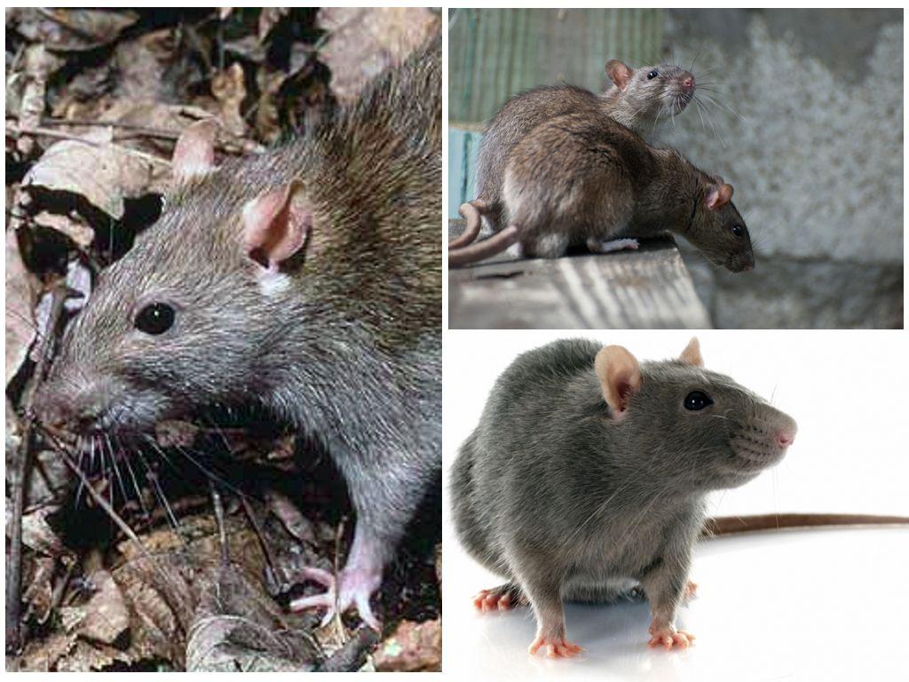 Обработка подвала от мышей